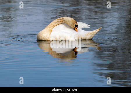 Adult mute swan (cygnus olor) with discoloured feathers from disturbing lake sediment during feeding - Stock Image
