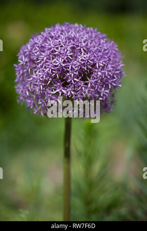 Purple Allium - Stock Image