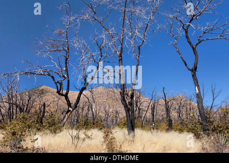 burned trees in the Chiricahua Mountains of Arizona after a wildfire there - Stock Image