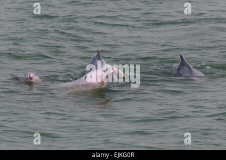Chinese White Dolphin, Sousa chinensis, Indo-Pacific humpback dolphins playing  Hong Kong - Stock Image