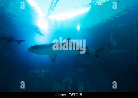 Shark in the ocean. Coral reef underwater with water line. Shark with Sunbeams shining through surface in aquarium - Stock Image