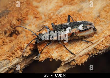 Two-banded Longhorn Beetle (Rhagium bifasciatum) hibernating in tree stump. Tipperary, Ireland - Stock Image