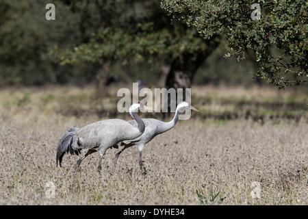 Common Crane, Eurasian Crane, Grus grus, Kranich, Extremadura, Spain, pair walking in dehesa with oak trees - Stock Image