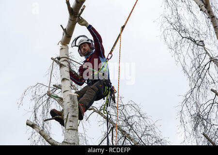 A tree surgeon fells a silver birch branch while wearing a full safety harness with climbing ropes - Stock Image