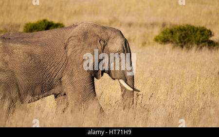 Elephant walking through plains - Stock Image