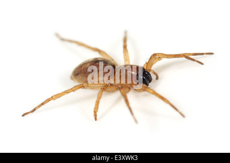 Female Caledonian sac spider (Clubiona subsultans), part of the family Clubionidae - Sac spiders. Isolated on white - Stock Image