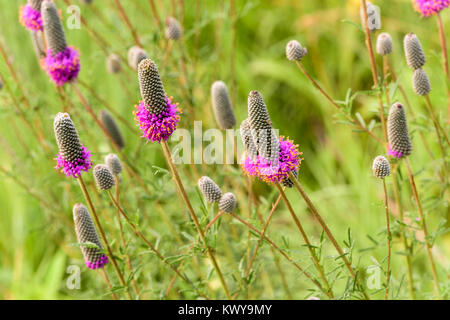 Purple Prairie Clover, Dalea purpurea flowers. - Stock Image