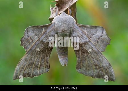 Poplar Hawk-Moth (Laothoe populi) resting on dry leaf Preston Montford Shrewsbury Shropshire England - Stock Image