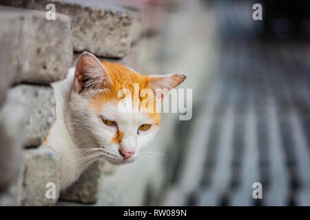 White-and-ginger cat looks from behind a gray wall and looks ahead, cat's yellow eyes, gray blurred background - Stock Image