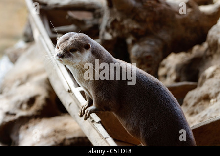 Outdoor image of an Oriental Small-clawed Otter (Aonyx cinerea). - Stock Image