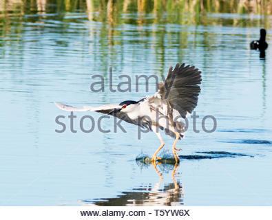 Black-crowned Night-Heron, Nycticorax nycticorax, landing on pond  in Arizona USA - Stock Image