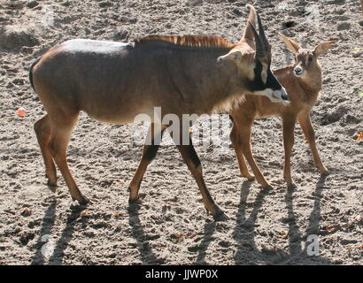 African Roan antelope calf (Hippotragus equinus) together with a mature animal. - Stock Image