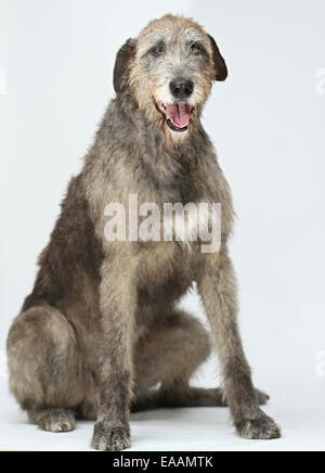 Irish wolfhound on white background - Stock Image