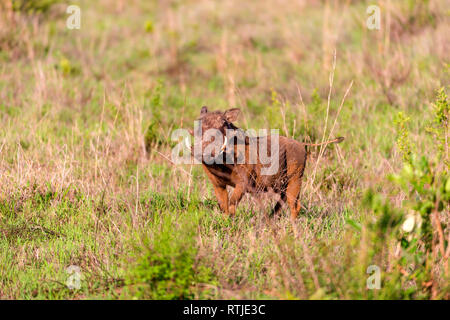 Common Warthog (Phacochoerus africanus), Tanzania, East Africa - Stock Image