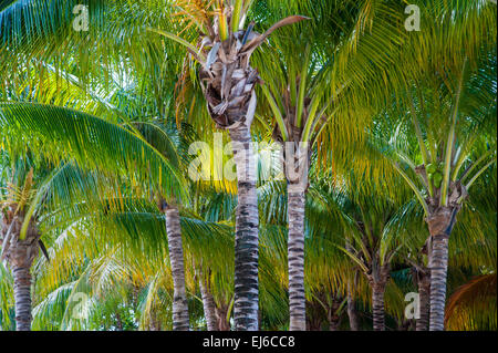 Palm Trees Caribbean - Stock Image