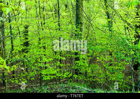 Spring Beech Trees near Broadway Tower in the Cotswolds England - Stock Image