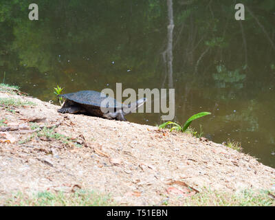 Turtle At The Waters Edge Of A Pond - Stock Image