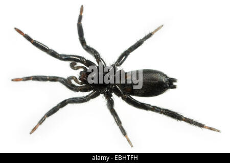 A female (Zelotes latreillei) spider on white background. The spider is part of the family Gnaphosidae, Ground spiders. - Stock Image