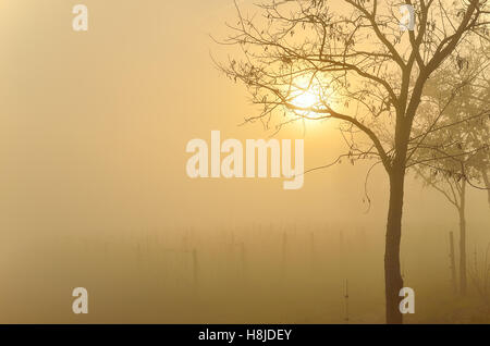 vineyard in autumn at sunset with fog - Stock Image