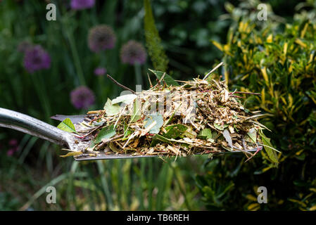 Freshly shredded garden waste ready to be added to the compost bin. - Stock Image