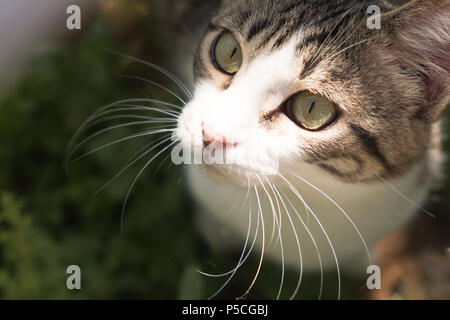 Beautiful and Cute Rescued Tabby Kitten enjoying the outdoors of the Sanctuary Garden with the Sunshine in his face. Saronida, Greece. - Stock Image