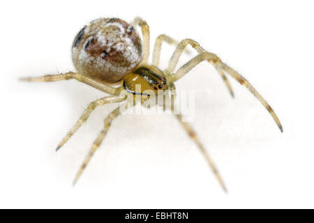 Female Phylloneta impressa (Theridion impressum) spider on white background. Family Theridiidae, Comb-footed spiders - Stock Image