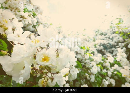 White rambler rose backlit on a sunny summer day, in vintage or retro filter effect with a vignette border, text - Stock Image