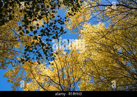 Aspen tree canopy in autumn Milton park Cambridge UK 10/11/2018 - Stock Image