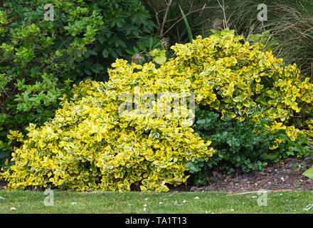 Euonymus, likely Euonymus fortunei 'Emerald and Gold' shrub with variegated green and yellow foliage leaves. in Spring (May) in West Sussex, UK. - Stock Image