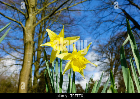 Daffodil flowers from low angle against blue sky - Stock Image