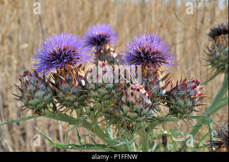 Thistle, Beebe Park, Mission Viejo, CA   080618_30836 - Stock Image