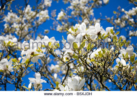 MAGNOLIA SOULANGIANA ALBA SUPERBA DECIDUOUS SHRUB OR TREE GROWING TO ABOUT 15FT WITH LARGE FRAGRANT WHITE FLOWERS - Stock Image