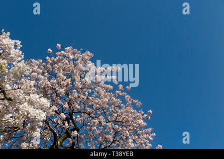 A section of blossom on a tree in spring with plenty of room for copy - Stock Image