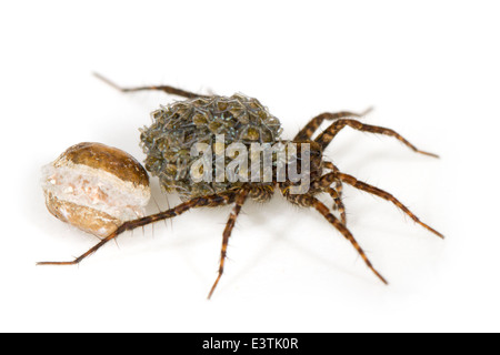 Female wolf spider (Pardosa sp), part of the family Lycosidae. Carrying its spiderlings that just emerged from the - Stock Image