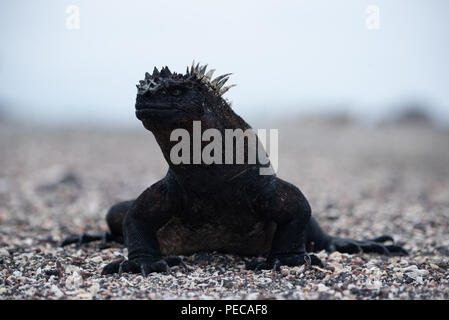 Marine Iguanas, Galápagos Islands - Stock Image