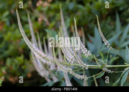 Thin spikes of the summer flowering, pale pink perennial, Veronicastrum virginicum f. roseum 'Pink Glow' - Stock Image