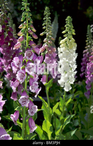Foxglove flowers - Stock Image