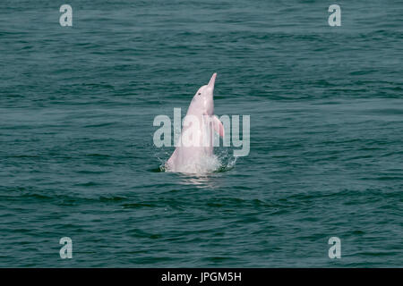Indo-Pacific Humpback Dolphin (Sousa chinensis) leaping out with a side slap. This coastal species faces many threats from humans. - Stock Image