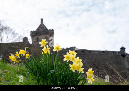 A spring morning at Edinburgh Castle with a bank of daffodils in front of the castle walls. - Stock Image