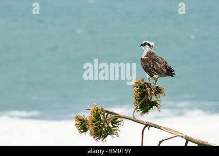 Osprey looking over the water. - Stock Image