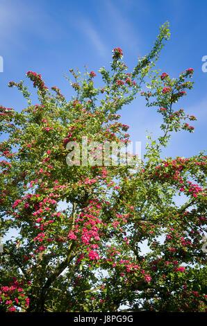A flowering ornamental hawthorn Crataegus Paul's Scarlet tree in Spring - Stock Image