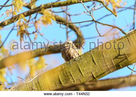 Littel Owl (Athene Noctua) - Stock Image