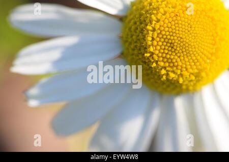 Close up of an ox-eye daisy - Stock Image