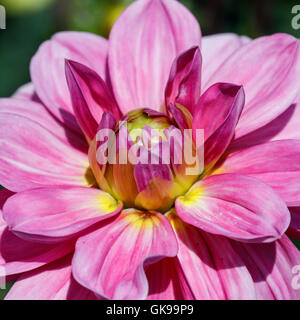 Pink and yellow Dahlia flower - Stock Image