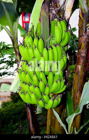Banana plantations in the immature green banana - Stock Image