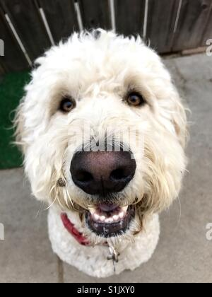 A happy white labradoodle dog looking the camera. - Stock Image