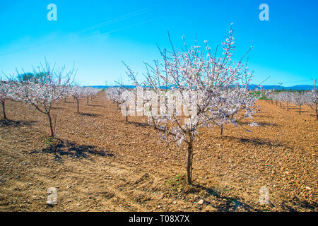 Flowered almond trees. Toledo, Spain. - Stock Image