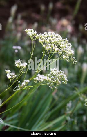 Valerian flowers (Valeriana officinalis). - Stock Image