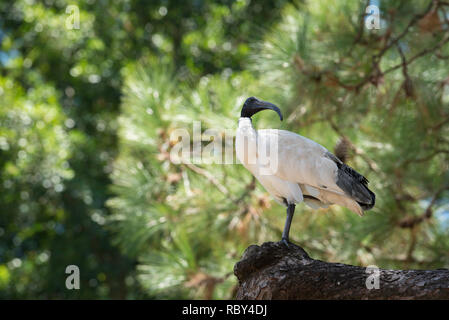 Australian White Ibis (Threskiornis molucca) has adapted to urban life and is now a common sight in Sydney. This bird is in Sydney's Hyde Park - Stock Image