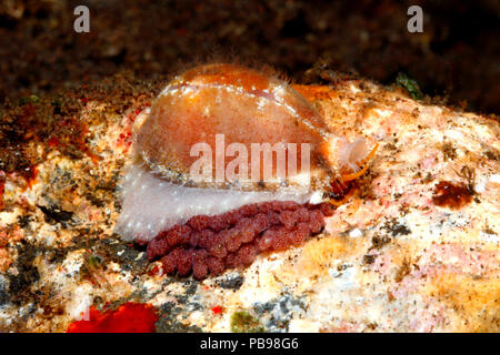 Live Cowry, or Cowrie Shell, Palmadusta contaminata with eggs. Previously Cypraea contaminata. Tulamben, Bali, Indonesia. Bali Sea, Indian Ocean - Stock Image